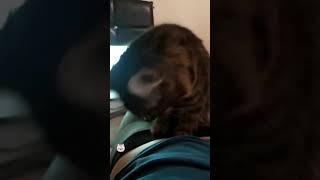 Masaj yapan kedi