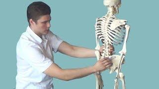 Подвздошно-поясничная мышца. Анатомия, функции и триггерные точки подвздошно- поясничной мышцы